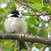 Young Black-capped Chickadee Art Print