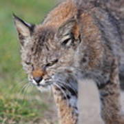Young Bobcat 03 Art Print by Wingsdomain Art and Photography