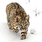 Young Bobcat Stalking Art Print