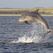 Young Bottlenose Dolphin - Scotland #13 Art Print