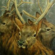 Young Elk Trio- Wapiti Art Print