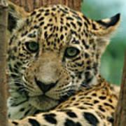 Young Jaguar Art Print