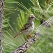 Young Lark Sparrow 2 Art Print