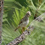 Young Lark Sparrow 3 Art Print