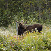 Young Male Moose Art Print