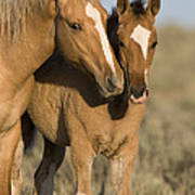 Young Mustangs Playing Art Print
