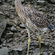 Young Night Heron Art Print