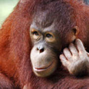 Young Orang Utan Looking Thoughtful Art Print
