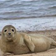 Young Seal Pup On Beach - Horsey, Norfolk, Uk Art Print