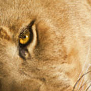 Your Lion Eye Print by Carolyn Marshall