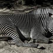 Zebra 2 Art Print