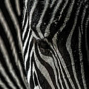 Zebra 3 Art Print
