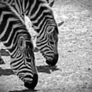 Zebra Beauty Art Print
