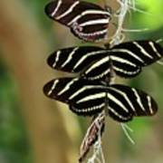 Zebra Butterflies Hanging On Art Print