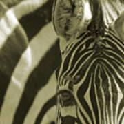 Zebra Close Up A Art Print