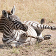 Zebra Foal Rolls In Dust On Savannah Art Print