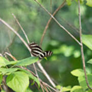 Zebra Longwing Butterfly About To Take Flight Art Print