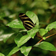Zebra Longwing Butterfly Art Print