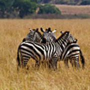 Zebra Protect Each Other Art Print