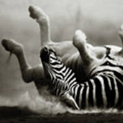 Zebra Rolling Art Print