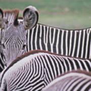 Zebra Stripes In Kenya Art Print