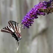 Zebra Swallowtail Butterfly 2 Art Print