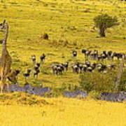 Zebra, Wildebeest And Giraffe Art Print