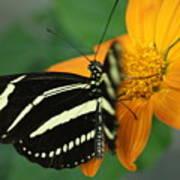 Zebra Wing Profile...   # Art Print