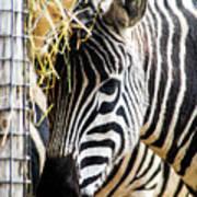Zebra Zee Art Print