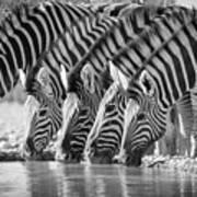 Zebras Drinking Art Print