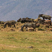 Zebras In The Ngorongoro Crater, Tanzania Art Print