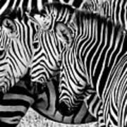 Zebras Triplets Art Print