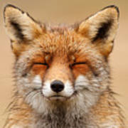 Zen Fox Red Fox Portrait Art Print