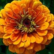 Zinnia At Frankenmuth Art Print