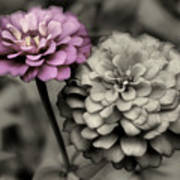 Zinnia Flower Pair Art Print