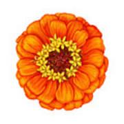 Zinnia In Orange Art Print