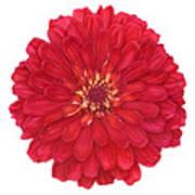 Zinnia In Red Art Print