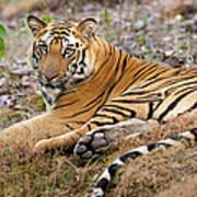 An Adult Tiger In Bandhavgarh National Art Print