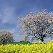 Cherry Tree In Blossom Art Print
