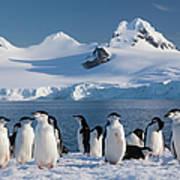 Chinstrap Penguins On Half Moon Island Art Print