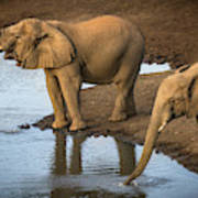 Elephants Drinking From A Water Hole. Art Print