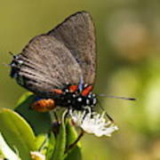 Great Purple Hairstreak Art Print