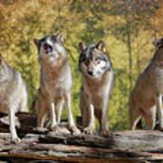 Howling Wolves Art Print