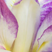 Iris Bloom, Portland Japanese Garden Art Print