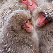Japanese Macaques, Japanese Alps Art Print