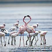 Lesser Flamingoes Phoeniconaias Minor Art Print