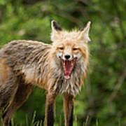 Red Fox Vulpes Vulpes In Prince Albert Art Print