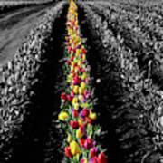Rows Of Tulips Art Print