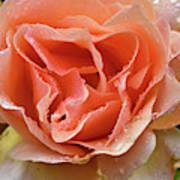 Salmon Pink Rose Art Print