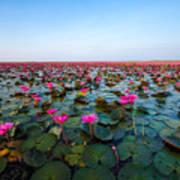 Sea Of Red Lotus , Marsh Red Lotus Art Print